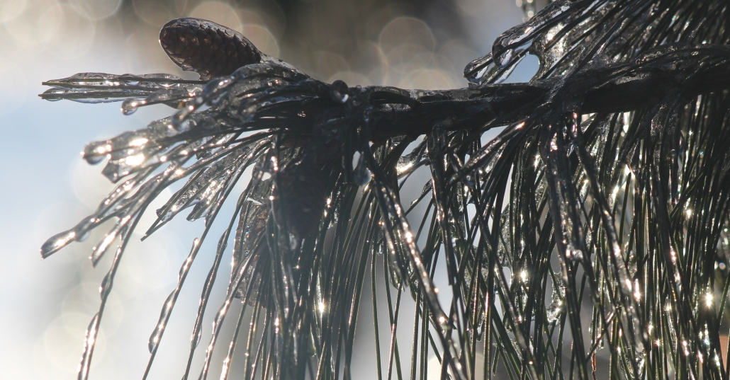 Ice-encased pine needles and cone