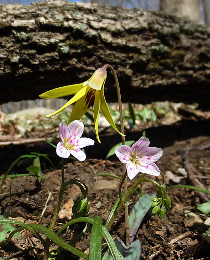 Trout Lily growing alongside Spring Beauties