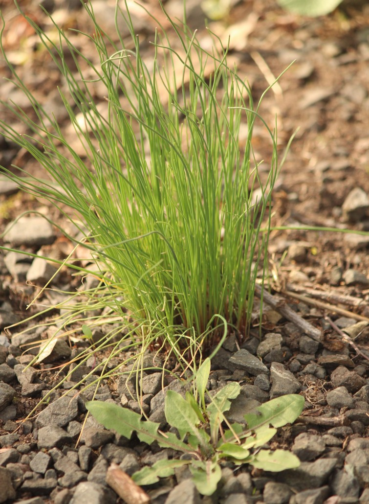 Young Dandelion with Onion Grass