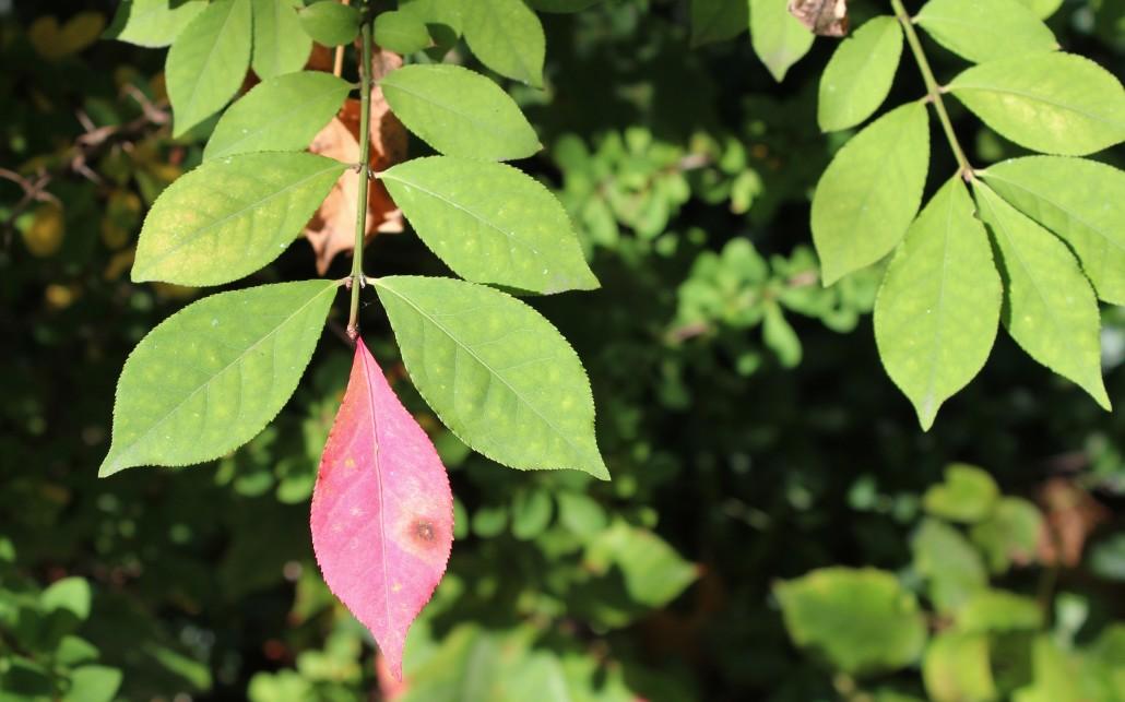 Japanese maple leaf Japanese maple leaf