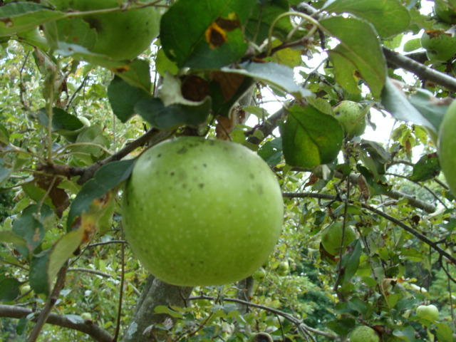 The uglier your apple, often, the more tasty it will be!