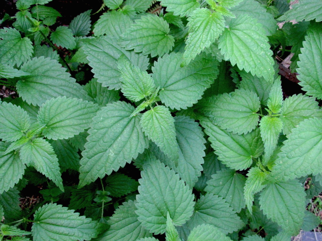 stinging nettle growing in the wild
