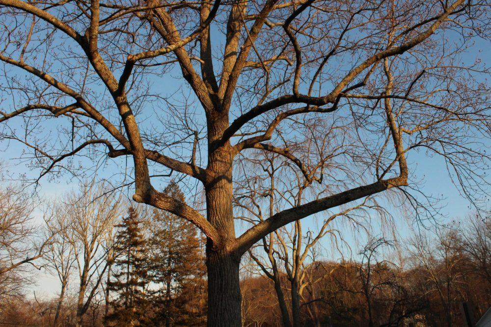 Muscle tree